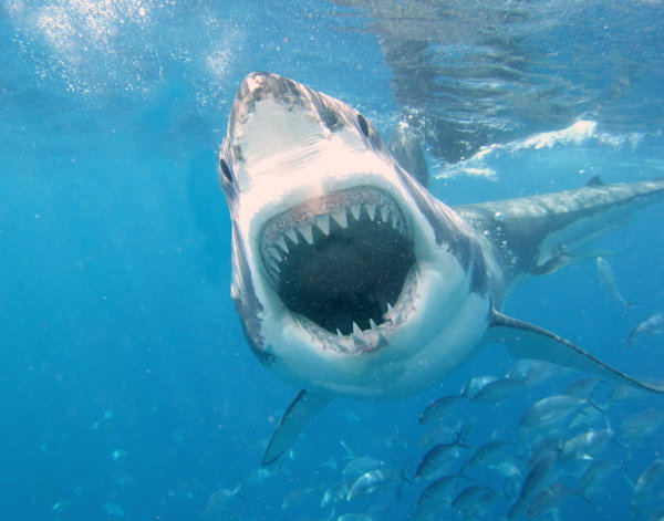 Great White shark attacking