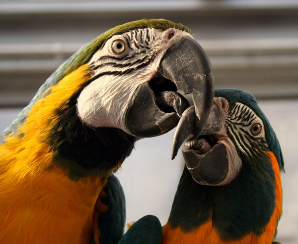 Two macaw birds playing